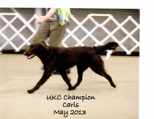 Caris UKC Champion 2013001 - Caris Flat-Coated Retriever