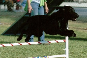 Kerry's Lee Of Clarenjoy - Flat-Coated Retrievers and Versatility