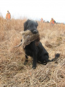 Tralee sit holding pheasant - Flat-Coated Retrievers and Hunting