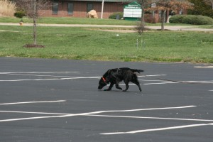 Flat-Coated Retrievers and Tracking - Variable Surface Tracking