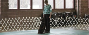 Flat-Coated Retriever in ring - Obedience and Rally